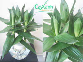 cay xanh | cay de ban | cay trong nuoc | cay trong nha | cay xanh qua tang | cay xanh van phong | cay xanh thuy canh | dat sach | dat tinh the | chau thuy tinh | chau su | cay trong dat | mua cay xanh | cay dep | cay la | qua tang cay xanh | deal cay xanh | cay xanh 24h